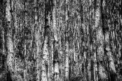 Tree Trunks in Black and White Stock Photos