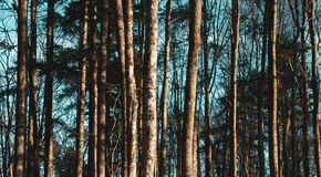 Tree trunks on a blue cyan sky. Forest pattern concepts. Abstract nature wallpaper. Background or backdrop royalty free stock images