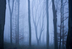 Tree trunks in blue misty forest Royalty Free Stock Photo