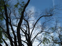 Tree trunks and branches against blue sky Stock Images