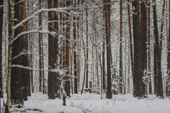 Tree trunks and branches in the winter forest. Background Royalty Free Stock Photography