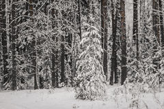 Tree trunks and branches in the winter forest. Background Royalty Free Stock Photo