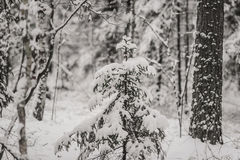 Tree trunks and branches in the winter forest. Background Royalty Free Stock Photos