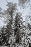 Tree trunks and branches in the winter forest. Background Royalty Free Stock Images