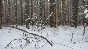 Tree trunks christmas tree winter forest nature pine landscape beautiful stock video