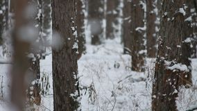 Tree trunks christmas tree winter forest pine nature beautiful landscape stock footage