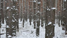 Tree trunks christmas tree winter forest pine nature landscape beautiful stock video