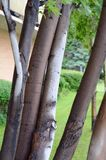 Tree trunks closeup. Multiple tree trunks closeup in front of apartment building Stock Photos
