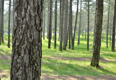 Tree Trunks of Coniferous Forest Royalty Free Stock Photo