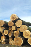 TREE TRUNKS CUT. Background of logs cutted in front of a blue sky Royalty Free Stock Photo
