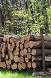 Tree trunks cut and stacked in forest. Royalty Free Stock Images