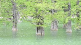Tree trunks of cypress swamp, growing out of water close-up stock video