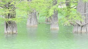 Tree trunks of cypress swamp in water stock footage
