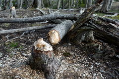 Tree trunks damaged by beavers. TIERRA DEL FUEGO, CHILE - NOVEMBER 13,2014:Tree trunks damaged by beavers stock image
