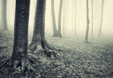 Tree trunks in a dark horror like forest. Trees in a horror like forest with fog Royalty Free Stock Image