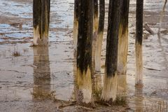 Tree Trunks Detail In Geyser Basin Yellowstone National Park Stock Image