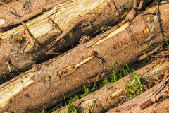 Tree Trunks. Detail of tree trunks in Italy Royalty Free Stock Images