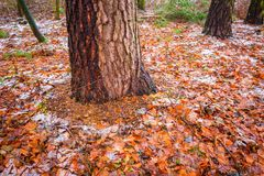 Tree trunks in dull and depressive winter forest landscape. Dull and depressive winter forest landscape. European forest at bad weather in winter Stock Photography