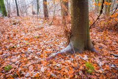 Tree trunks in dull and depressive winter forest landscape. Dull and depressive winter forest landscape. European forest at bad weather in winter Royalty Free Stock Photo