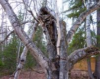 Trees interwoven in a forest in northern canada. Tree trunks entwined as seen in the yukon territories in the springtime Stock Photography
