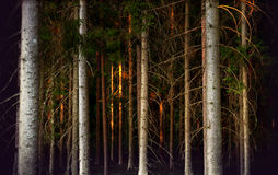 Tree trunks in evening light Stock Images
