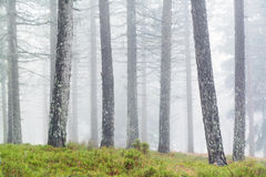 Tree trunks with fog Stock Photography