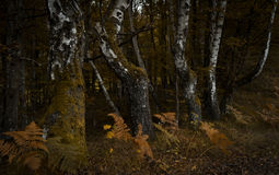 Tree trunks. In forest during autumn Royalty Free Stock Image