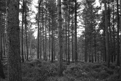 Tree Trunks in Forest. Black and White Tree Trunks in Forest Stock Images
