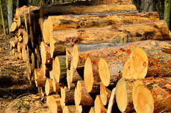 Tree trunks on the forest cut Stock Image