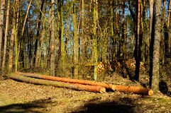 Tree trunks on the forest cut Royalty Free Stock Images