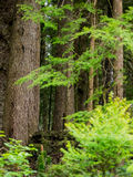 Tree trunks in the forest. Green bushes and dark tree trunks in the forest in Oregon Royalty Free Stock Images