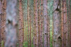Tree trunks in forest Royalty Free Stock Image