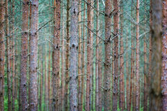Tree trunks in forest Stock Photography