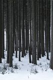 Tree trunks in a forest in winter. Black and white Royalty Free Stock Photo