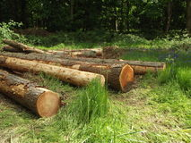 Tree Trunks. Freshly Cut Tree Trunks Royalty Free Stock Image
