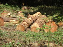 Tree Trunks. Freshly Cut Tree Trunks Stock Photography