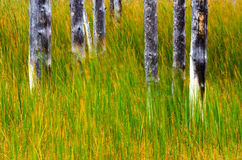 Tree Trunks and Grass in Yellowstone National Park Royalty Free Stock Image