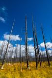 Tree Trunks and Grass in Yellowstone National Park Stock Images