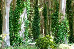 tree trunks with ivy Stock Photo