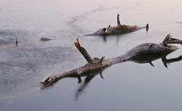 Tree trunks in lake. Closeup of dead tree trunks protruding above lake surface Royalty Free Stock Photos