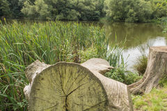 Tree trunks by a lake in the Kent countryside Royalty Free Stock Photography