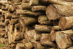 Tree Trunks. Large tree trunks in the Alps Stock Photography
