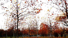 Tree trunks lined, november, park, panoramic. In october stock video footage