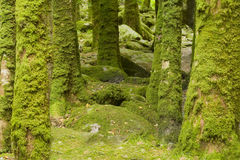 Tree trunks with moss. Many tree trunks in forest covered with moss Stock Photo