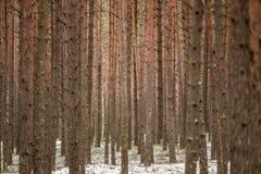 Tree trunks. Nature detail tree trunks Royalty Free Stock Image