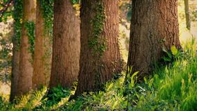 Tree Trunks In Peaceful Summer Woodland. Row of large tree trunks in afternoon forest with gentle breeze and insects flying around stock footage