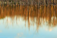 Tree trunks reflected in the water in high water royalty free stock images