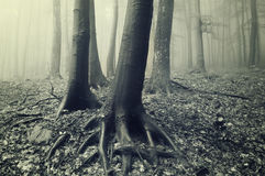Tree trunks and roots in a misty forest Royalty Free Stock Photos