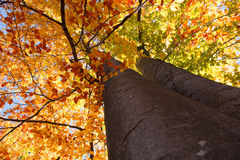 Tree trunks seen by an ant. Trees with yellow, green and red foliage, seen by an ant Stock Photography