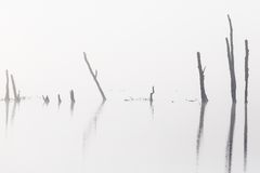 Tree trunks silhouette in mist Royalty Free Stock Photography